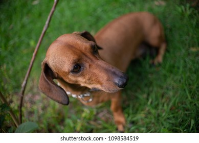 daschund pet close up