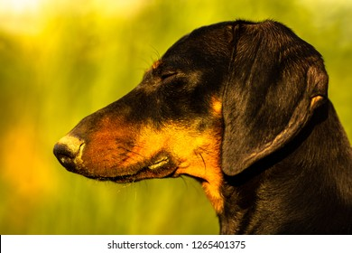 Daschund portrait in autumn