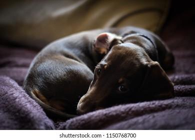 Daschund puppy called Daisy.