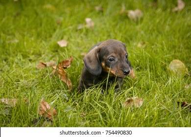 Daschund puppy in grass