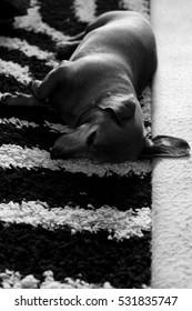 Daschund sleeping.