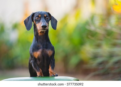 Daschund standing up to look