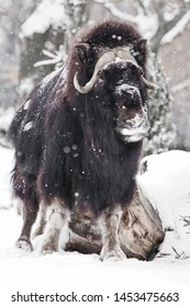 dashing look. musk oxen under snowfall in winter, powerful northern beast of the glaciation era.