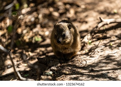 A dassie baby sitting under branches waiting for her mother