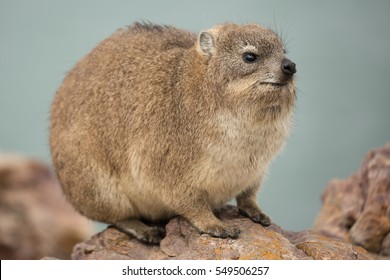 A Dassie (Rock Hyrax) shot at Mossel Bay, South Africa