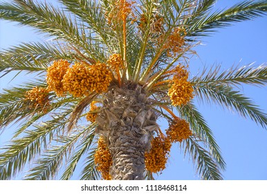 Date Palm from below with exotic fruits.