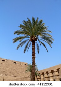 A date palm in Egypt