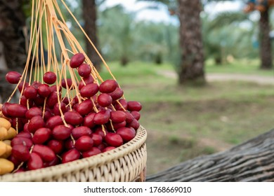 Date palm fruit, fresh fruit from the Middle East. There are a lot of benefits, which are popular among Israel.