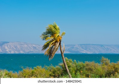 Date Palm on the Shore of the Sea of Galilee