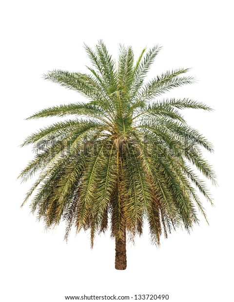 Date palm (Phoenix dactylifera), tropical tree in the northeast of Thailand isolated on white background