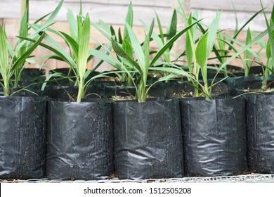 Date palm seedlings in black plastic bag