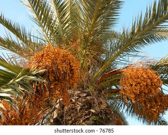date palm shot from below