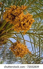 Date palm tree with dates, Bahrain