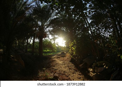 Date palm, , tree of the palm family cultivated for its sweet edible fruits. The date palm has been prized from remotest antiquity and may have originated in what is now Iraq.