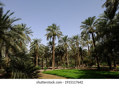 Date palm , tree of the palm family cultivated for its sweet edible fruits. The date palm has been prized from remotest antiquity.