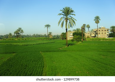 date palm tree in farm land of egypt