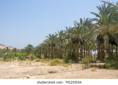 Date palm tree plantation in the area of the reserve of Ein Gedi