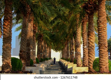 Date palm trees growing in a row and branches of date palms under blue sky.  Plantation of date palms. Tropical agriculture industry in the Middle East