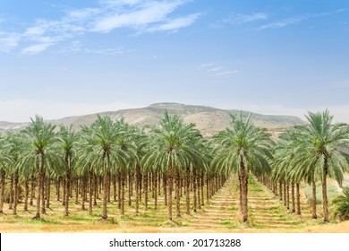 Date palm trees on orchard plantation in Galilee Jordan valley against Israel Golan Heights