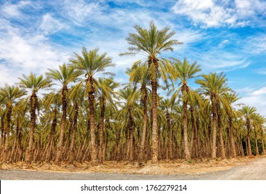 Date palm trees plantation. Cultivated palms grow  on irrigated ground in sunny day
