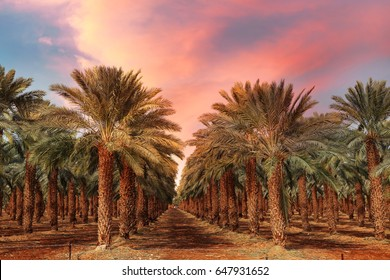 Date palm trees plantation at sunset.