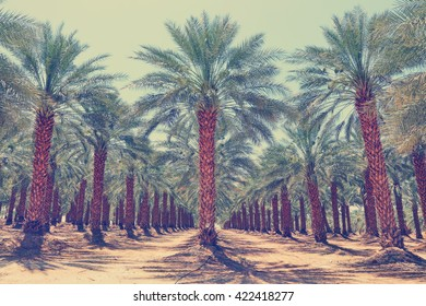 Date palm trees plantation.Start of the growing season dates.Agricultural theme, Israel. Toned colors vintage photo