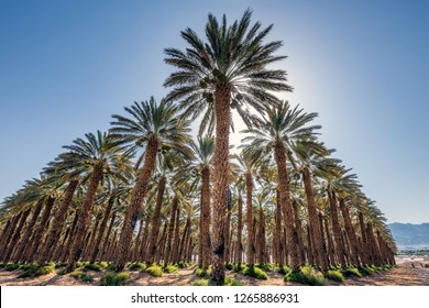 Date palms have an important place in advanced desert agriculture in the Middle East near Eilat, Israel