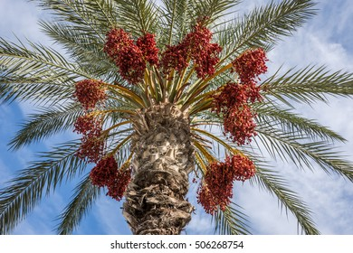 Date palms loaded with ripe red fruits