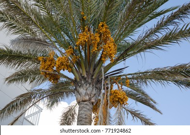 Dates fruit on the palm tree, Mallorca, Spain