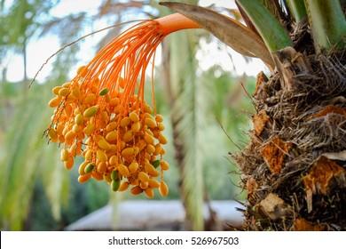 Dates on a palm tree