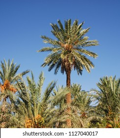Dates on palm tree on park