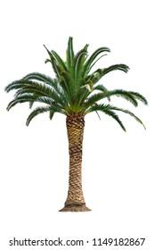 Dates palm tree isolated on white background.