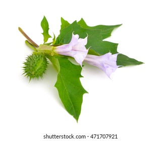 Datura, daturas, devil's trumpets, angel's trumpets. Isolated on white background.