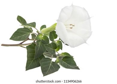 Datura flower, dope, stramonium, thorn-apple, jimsonweed, isolated on white background