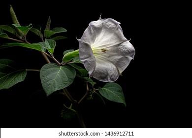 Datura flower, dope, stramonium, thorn-apple, jimsonweed, isolated on black background