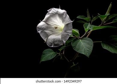 Datura flower, dope, stramonium, thorn-apple, jimsonweed, isolated on black background