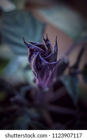 """A Datura flower ready to bloom. """"Datura metel"""" to be specific."""