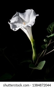 Datura Inoxia. A poisonous plant with a beautiful white flower that blooms in the evening earning it's name, The Moon Flower. A rich history in folklore and medicinal uses.