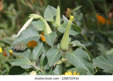 Datura metel or Devil's trumpet in garden. Plant with green leaves and bud