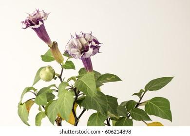 Datura metel L. (Datura metel var. Fastuosa (L.) Saff.) Flowers.