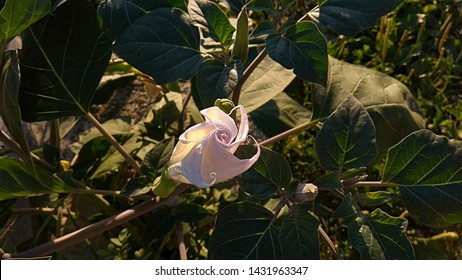 Datura spiral, pale purple flower bud with broad, dark green leaves in the evening sunlight. Closed, moonflower spiral-shaped, tinted purple white flower.