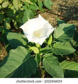 Datura stramonium or datura,dhatura,moonflower,thorn apple flower