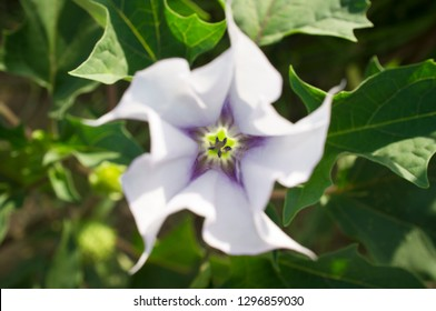 Datura stramonium, known in English as jimsonweed or devil's snare, Overhead shot of flower with selective focus