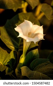 Datura stramonium, thorn-apple with flower
