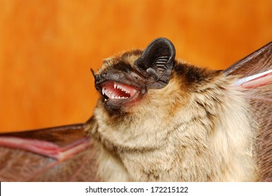 Daubenton's bat - Myotis daubentonii