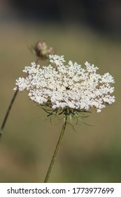 Daucus carota blooming in morning sunrise This flowers have the common names include wild carrot, bird's nest, bishop's lace, and Queen Anne's lace, is a white, flowering plant.Italy