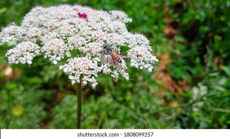 Daucus carota plants or wild carrot with honey bee. Indian Carrot white flowers and seeds bloom in farn field