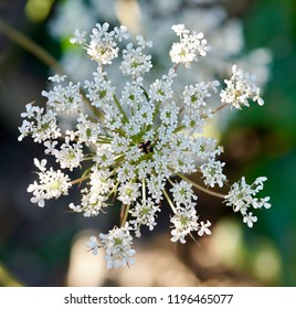 Daucus carota, whose common names include wild carrot, bird's nest, bishop's lace, and Queen Anne's lace is a white flower with a reddish or purple flower in the center