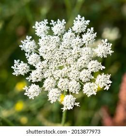 Daucus carota, wild carrot, bird's nest, is a white flowering plant in the family Apiaceae.