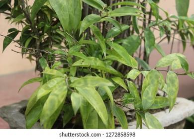 Daun Bambu Mini Hijau